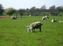 Youthwalk: Sheep May Safely Graze